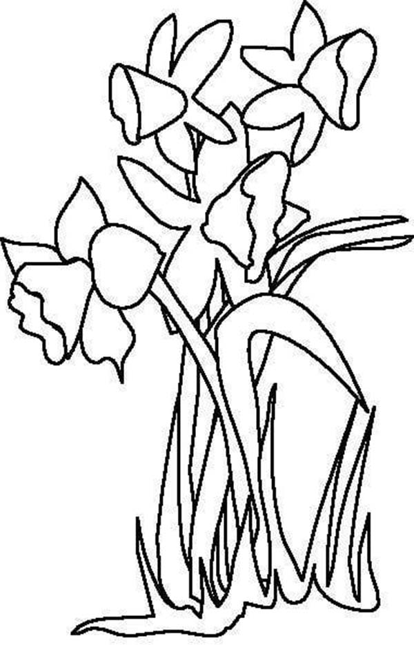 Daffodil, : Daffodil Flower for the LOve One Coloring Page