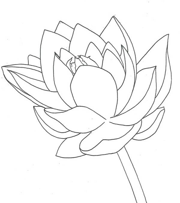 Lotus Flower, : Drawing of Lotus Flower Coloring Page