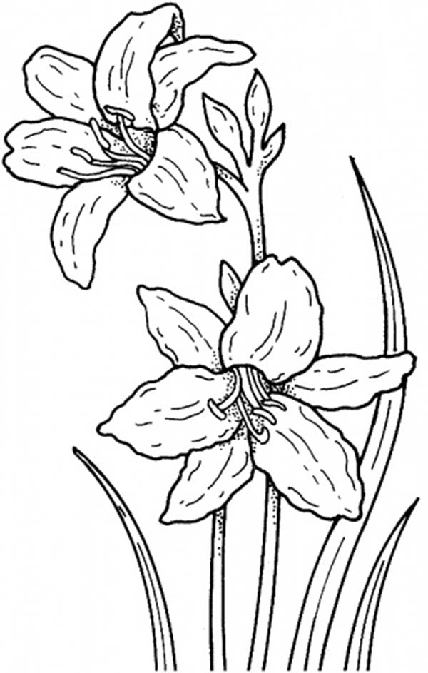 Daffodil, : Garden of Daffodil Coloring Page