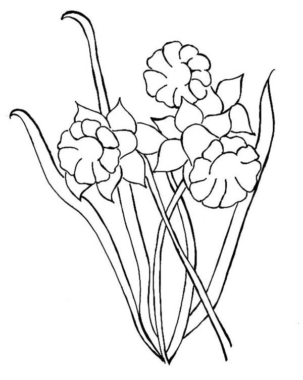 Daffodil, : How to Draw a Daffodil Coloring Page