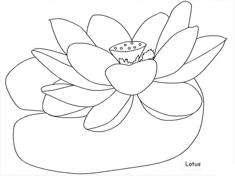lotus coloring page any