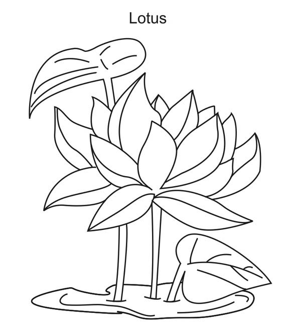 Lotus Flower, : Lotus Flower Growing Coloring Page