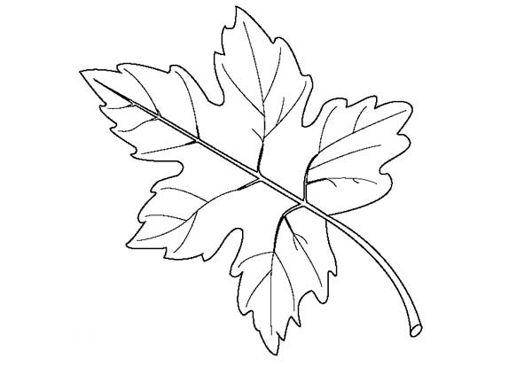 maple leaf raster coloring page maple leaf raster coloring page