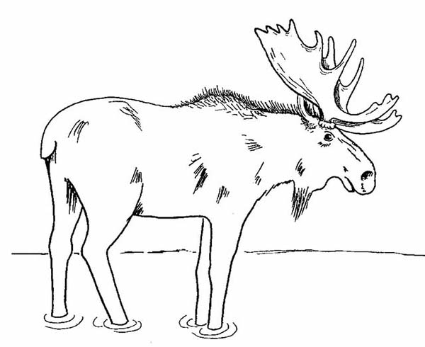 Moose, : Moose Standing in the Swamp Coloring Page