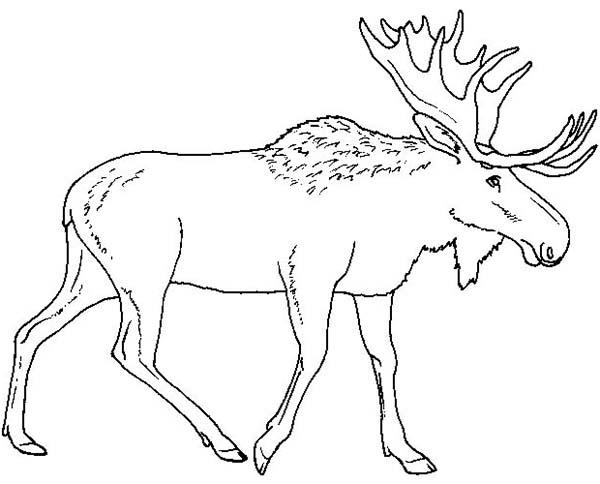 Moose, : Moose Walking Alone Coloring Page
