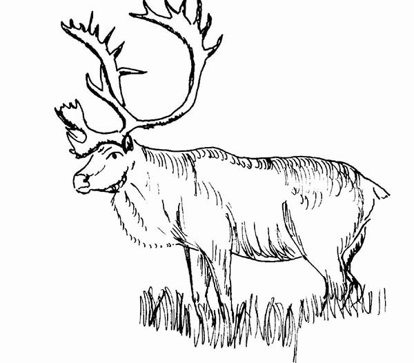 Moose, : Moose with Sharp Horn Coloring Page