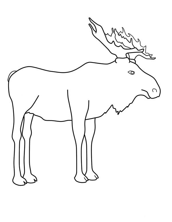 Moose, : Outline of Moose Coloring Page