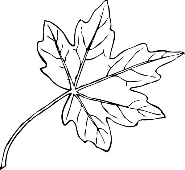 paperbark maple leaf coloring page kids play color