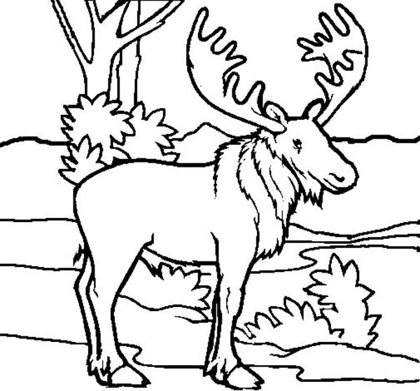 Moose, : Picture of Moose Coloring Page
