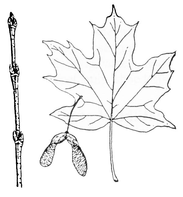 Maple Leaf, : Picture of Sugar Maple Leaf Coloring Page