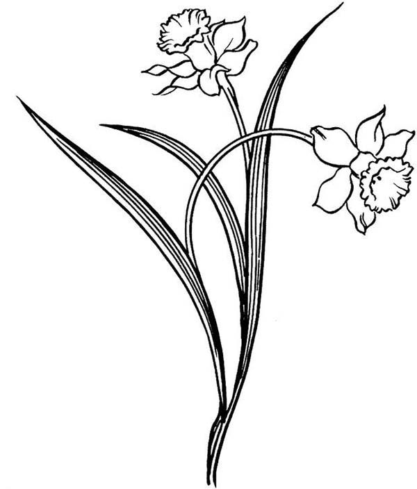 Daffodil, : Pretty Daffodil Flower Coloring Page