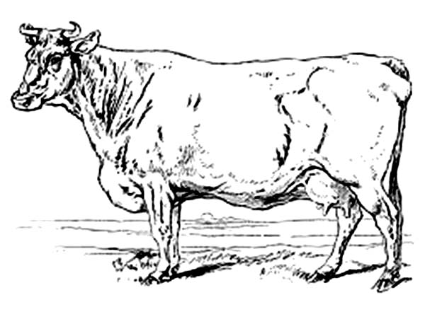 Cow, : Realistic Drawing of Cow Coloring Page