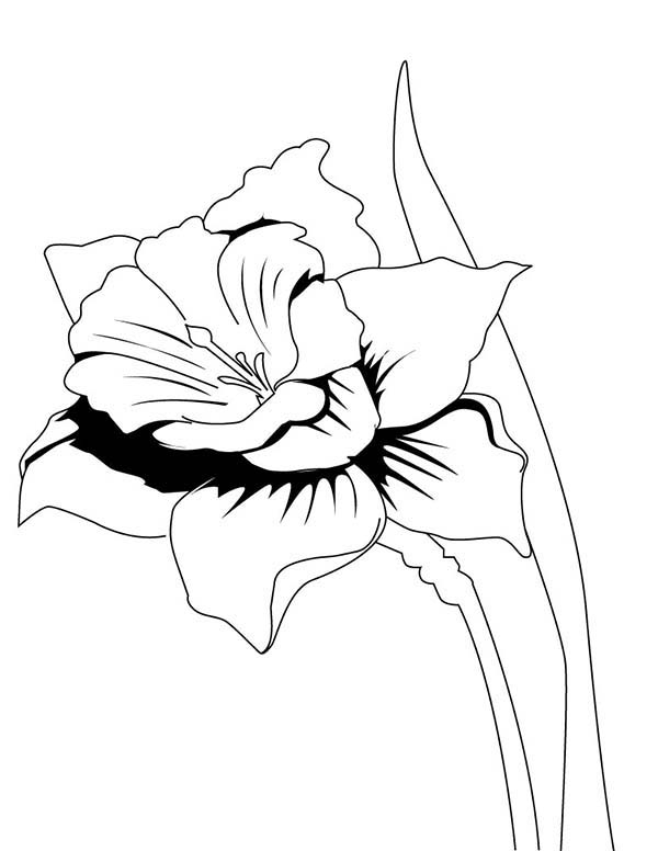 Daffodil, : Realistic Drawing of Daffodil Coloring Page