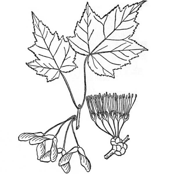Maple Leaf, : Red Maple Maple Leaf Coloring Page