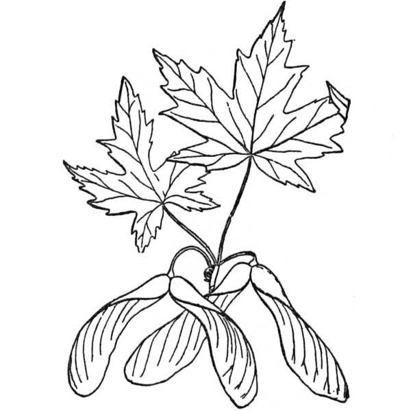 Maple Leaf, : Silver Maple Leaf Coloring Page