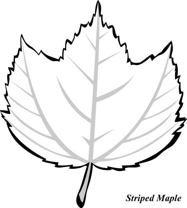 Maple Leaf, : Striped Maple Leaf Coloring Page