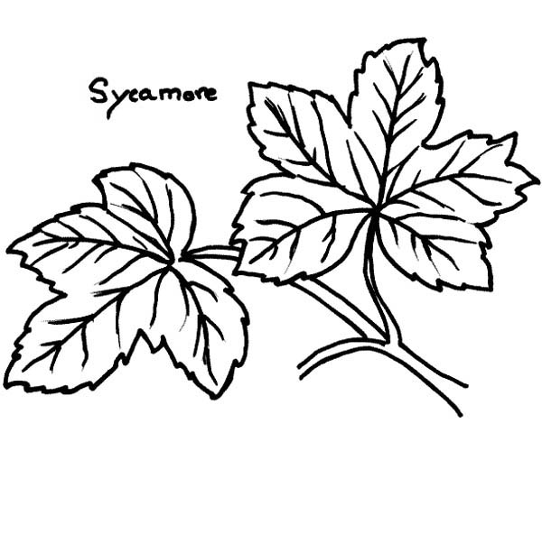 maple leaf sycamore maple leaf coloring page