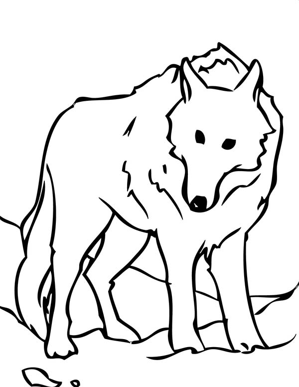 Arctic Animals, : The Arctic Animals White Wolf Coloring Page