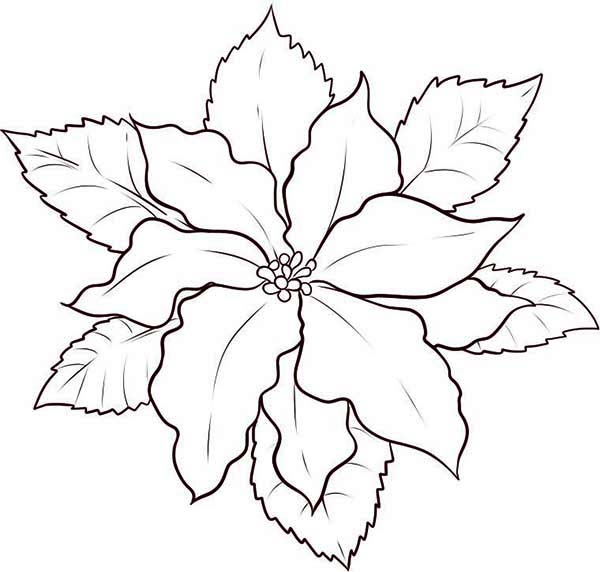 National Poinsettia Day, : How to Sketch Poinsettia for National Poinsettia Day Coloring Page