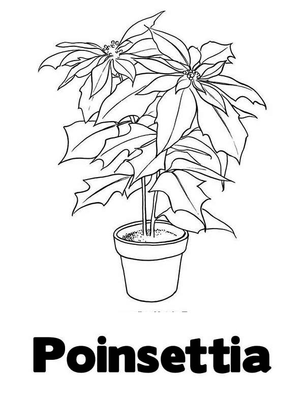 National Poinsettia Day, : Learn Letter P of Poinsettia for National Poinsettia Day Coloring Page