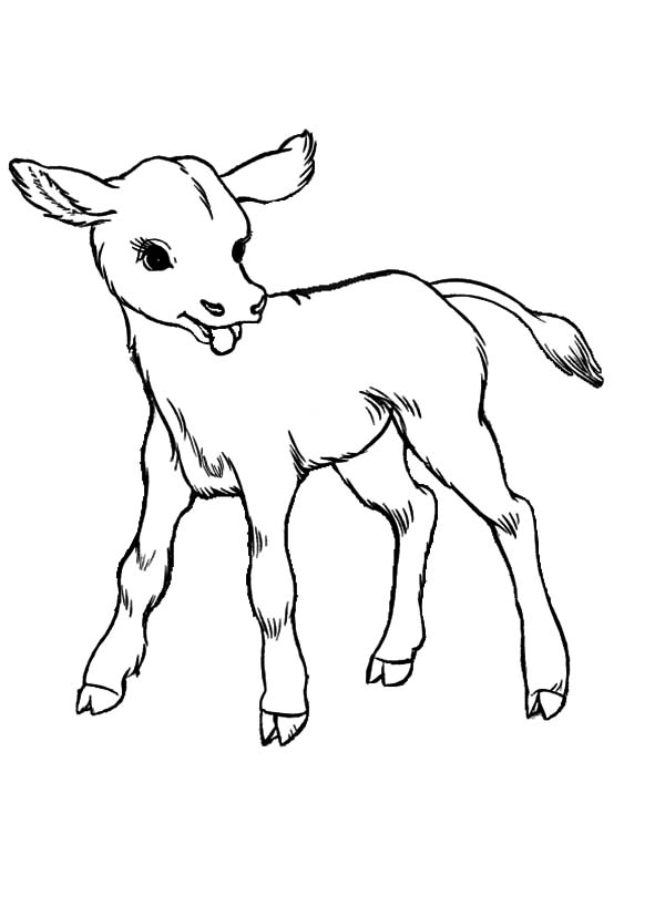 Cows, : Baby Cows Coloring Pages