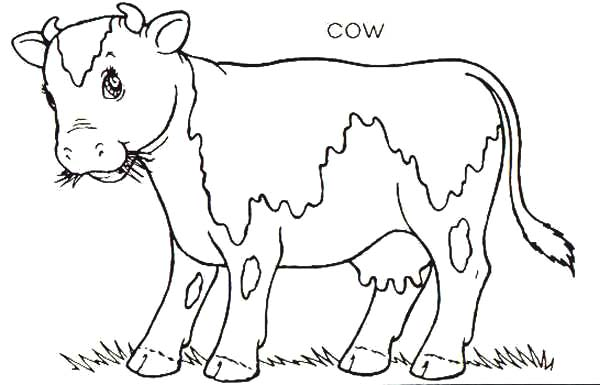 Cows, : Cows Chewing Grass Coloring Pages