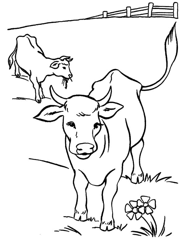 Cows, : Cows and Calves at Yard Coloring Pages